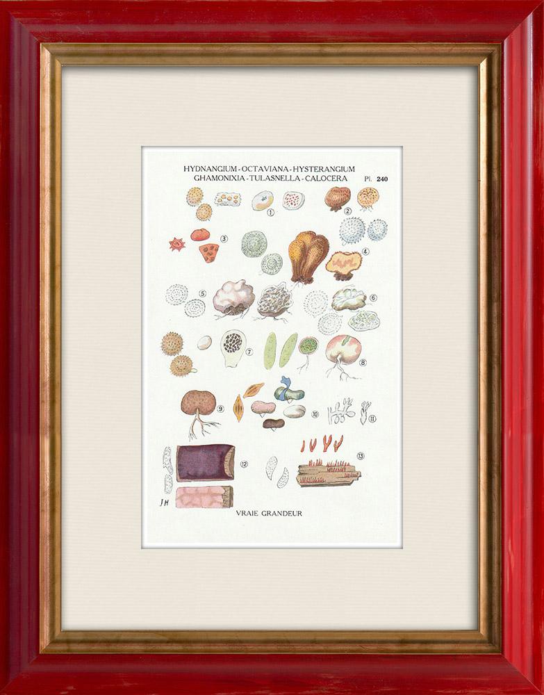 Antique Prints & Drawings | Mycology - Mushroom - Hydnangium - Octaviana Pl.240 | Print | 1919