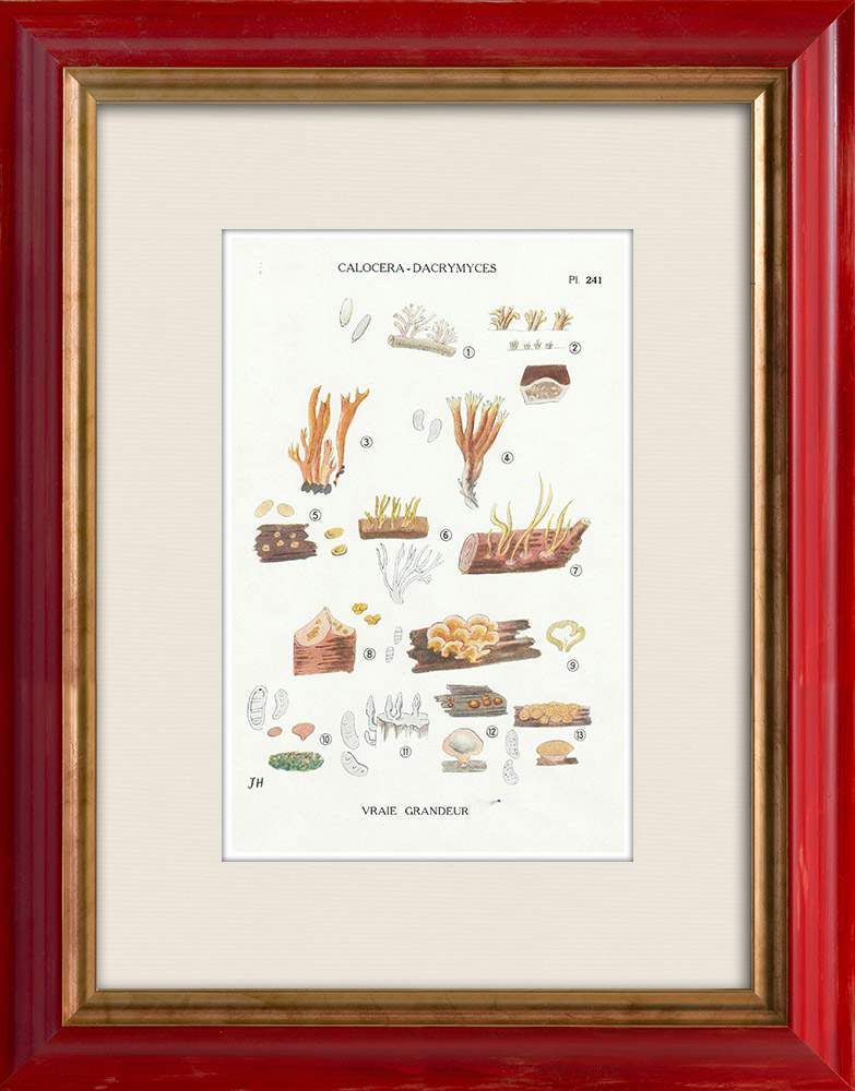 Antique Prints & Drawings | Mycology - Mushroom - Calocera - Dacrymyces Pl.241 | Print | 1919