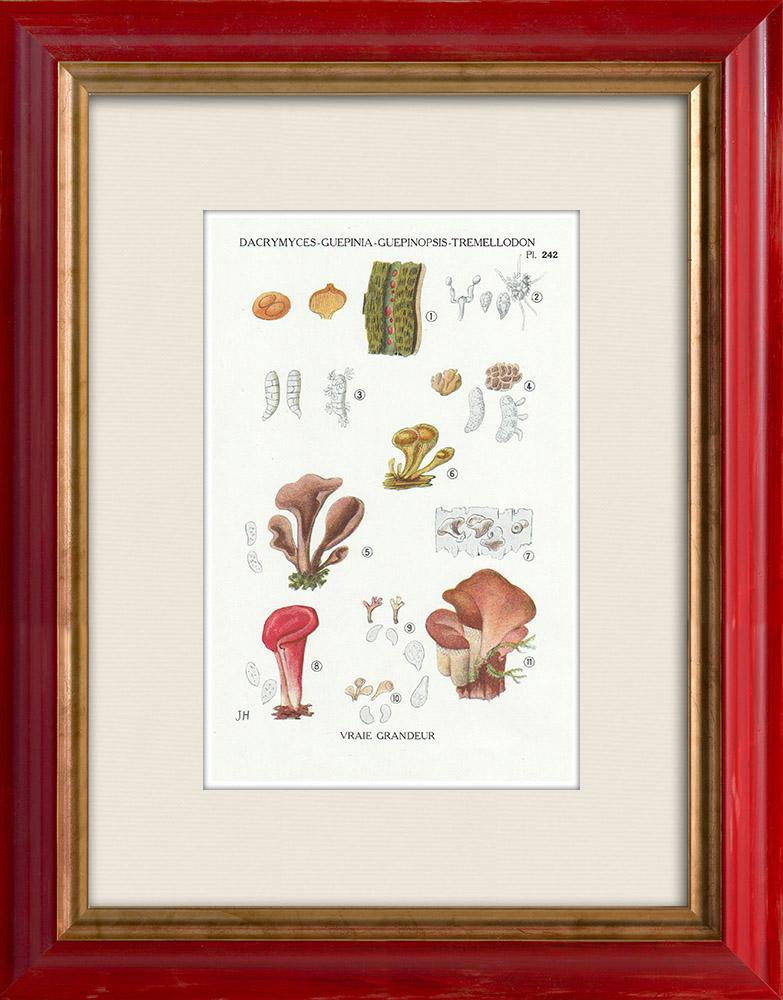 Antique Prints & Drawings   Mycology - Mushroom - Dacrymyces - Guepinia Pl.242   Print   1919