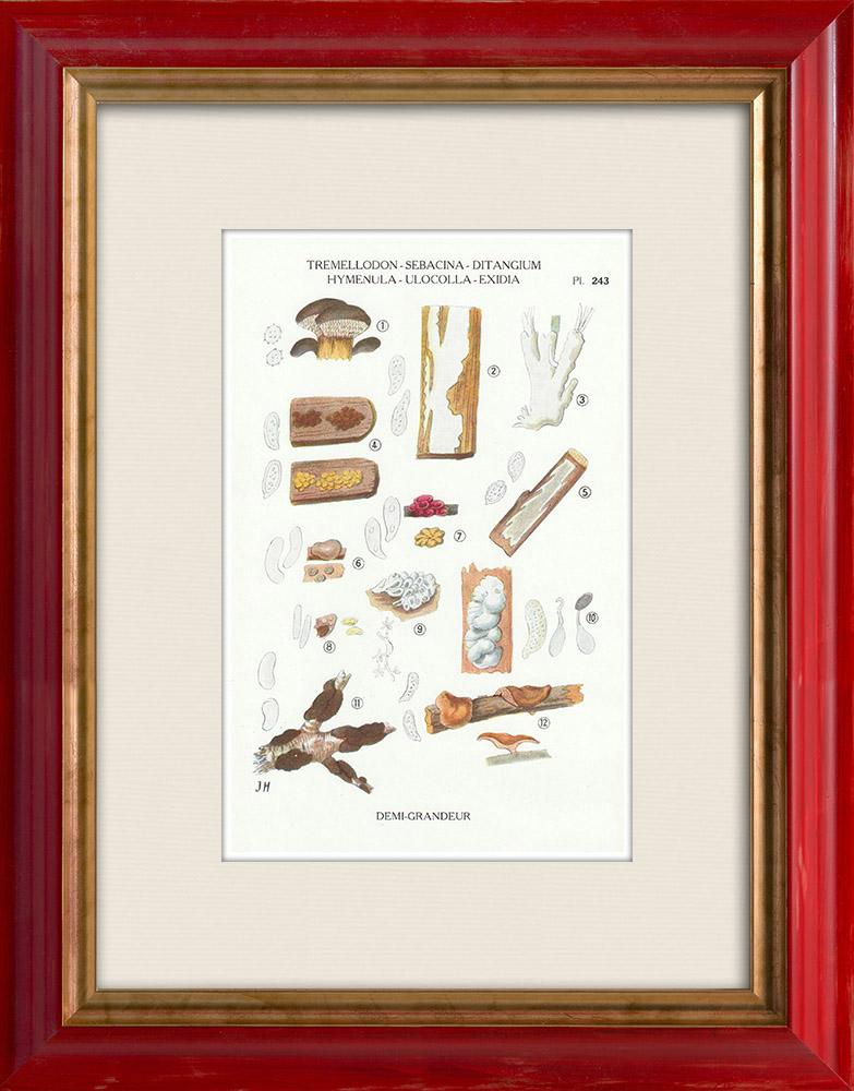 Antique Prints & Drawings | Mycology - Mushroom - Tremellodon - Sebacina Pl.243 | Print | 1919