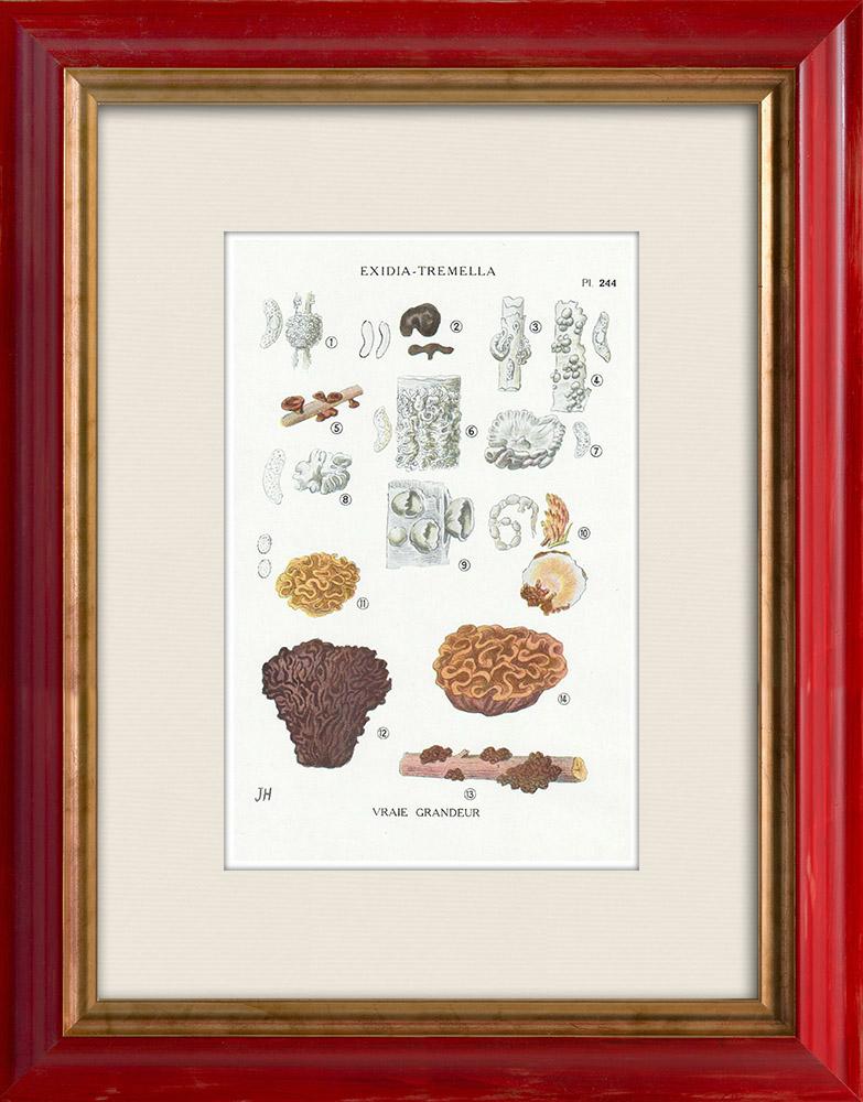 Gravures Anciennes & Dessins   Mycologie - Champignon - Exidia - Tremella Pl.244   Impression   1919