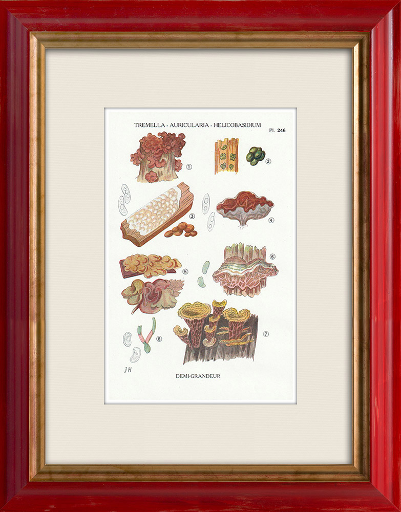 Antique Prints & Drawings | Mycology - Mushroom - Tremella - Auricularia Pl.246 | Print | 1919