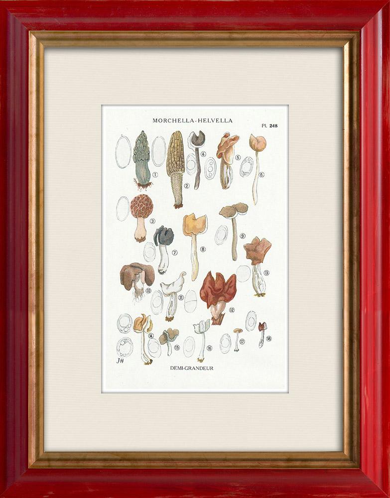 Grabados & Dibujos Antiguos | Micología - Seta - Morchella - Helvella Pl.248 | Estampa | 1919