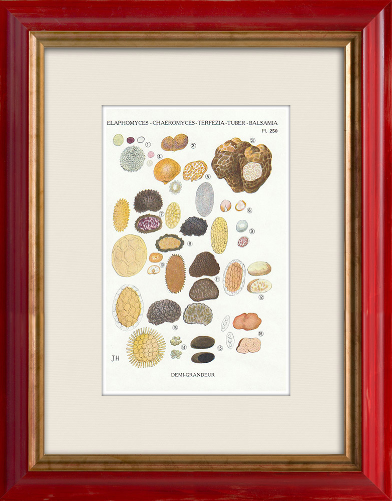 Gravures Anciennes & Dessins | Mycologie - Champignon - Elaphomyces - Chaeromyces - Terfezia Pl.250 | Impression | 1919