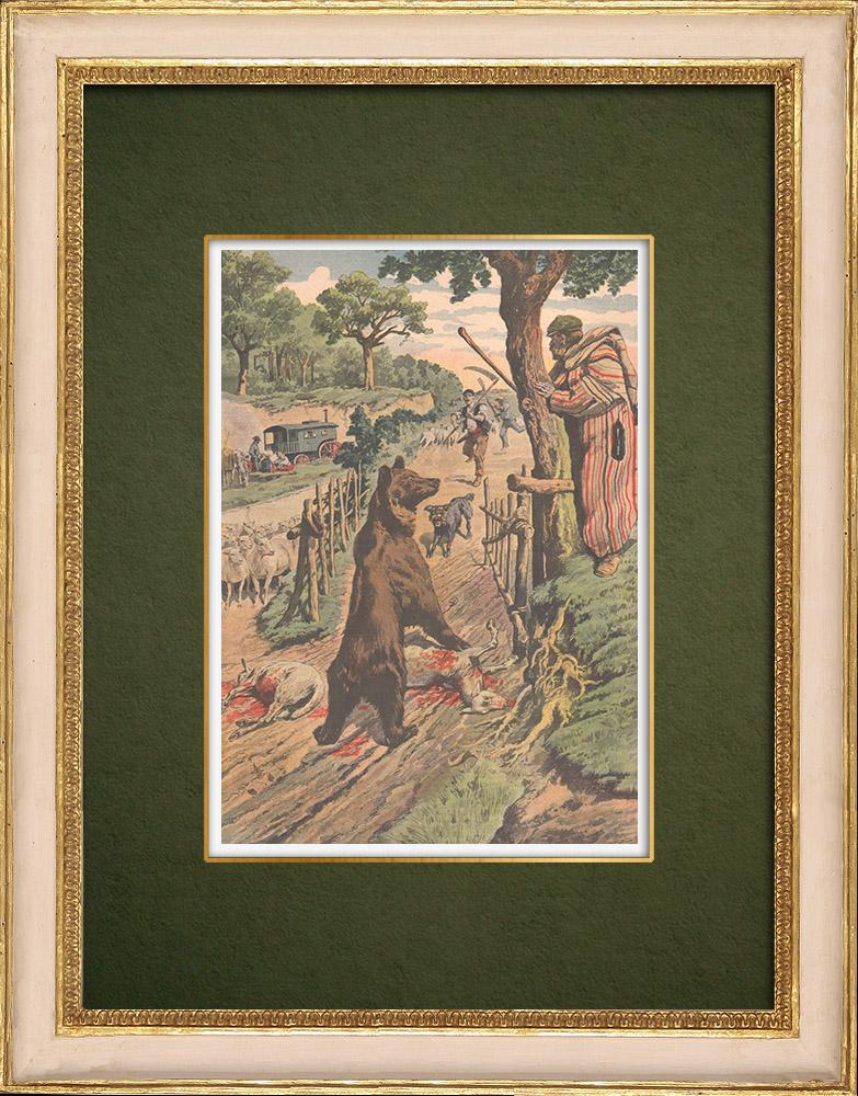Gravures Anciennes & Dessins | Un ours laché dans un parc à moutons - France - 1907 | Gravure sur bois | 1907