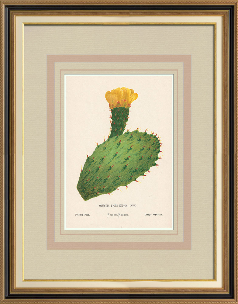 Stampe Antiche & Disegni | Fiori di Palestina - Opuntia Ficus Indica | Cromolitografia | 1876