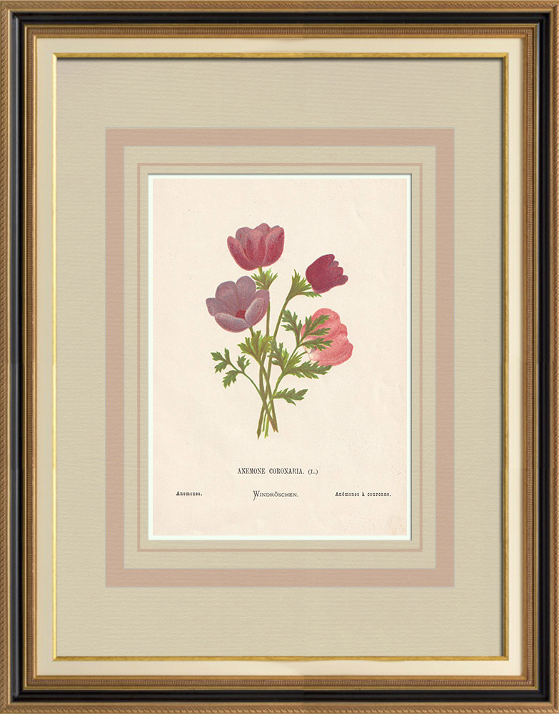 Antique Prints & Drawings | Flowers of Palestine - Anemone Coronaria | Chromolithography | 1876