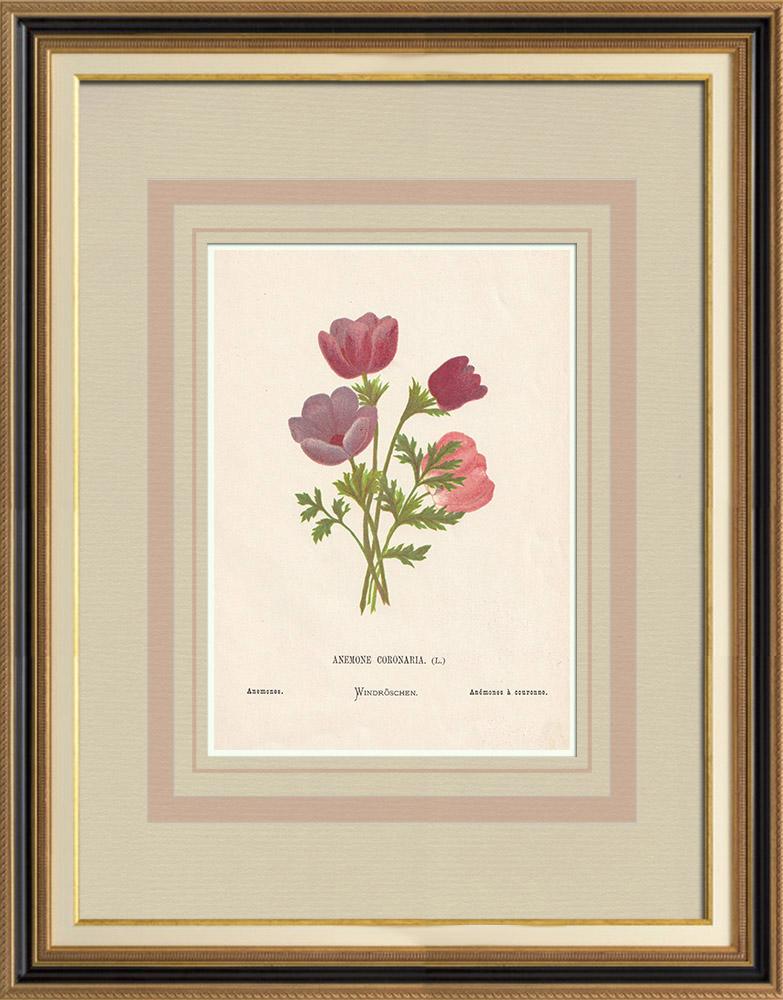 Stampe Antiche & Disegni | Fiori di Palestina - Anemone Coronaria | Cromolitografia | 1876
