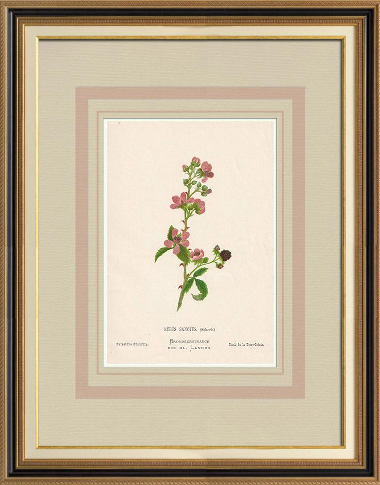 Stampe Antiche & Disegni | Fiori di Palestina - Rubus Sanctus | Cromolitografia | 1876