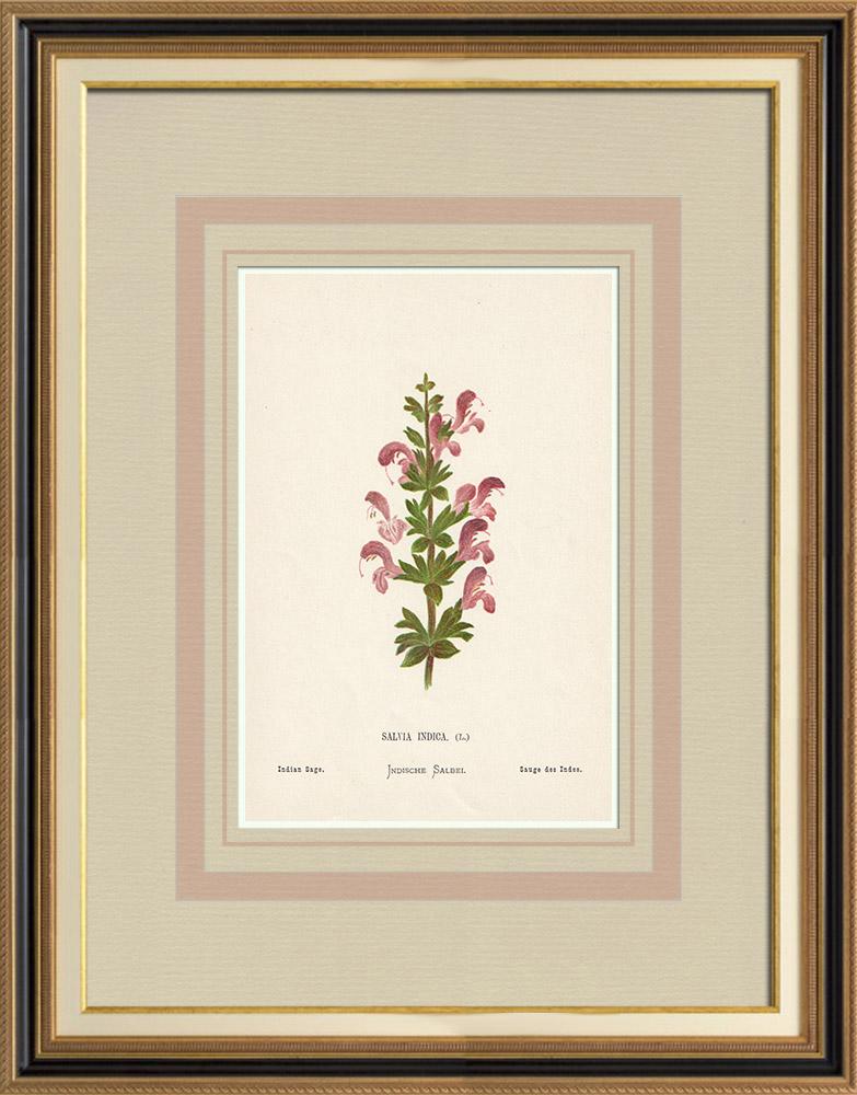 Stampe Antiche & Disegni | Fiori di Palestina - Salvia Indica | Cromolitografia | 1876