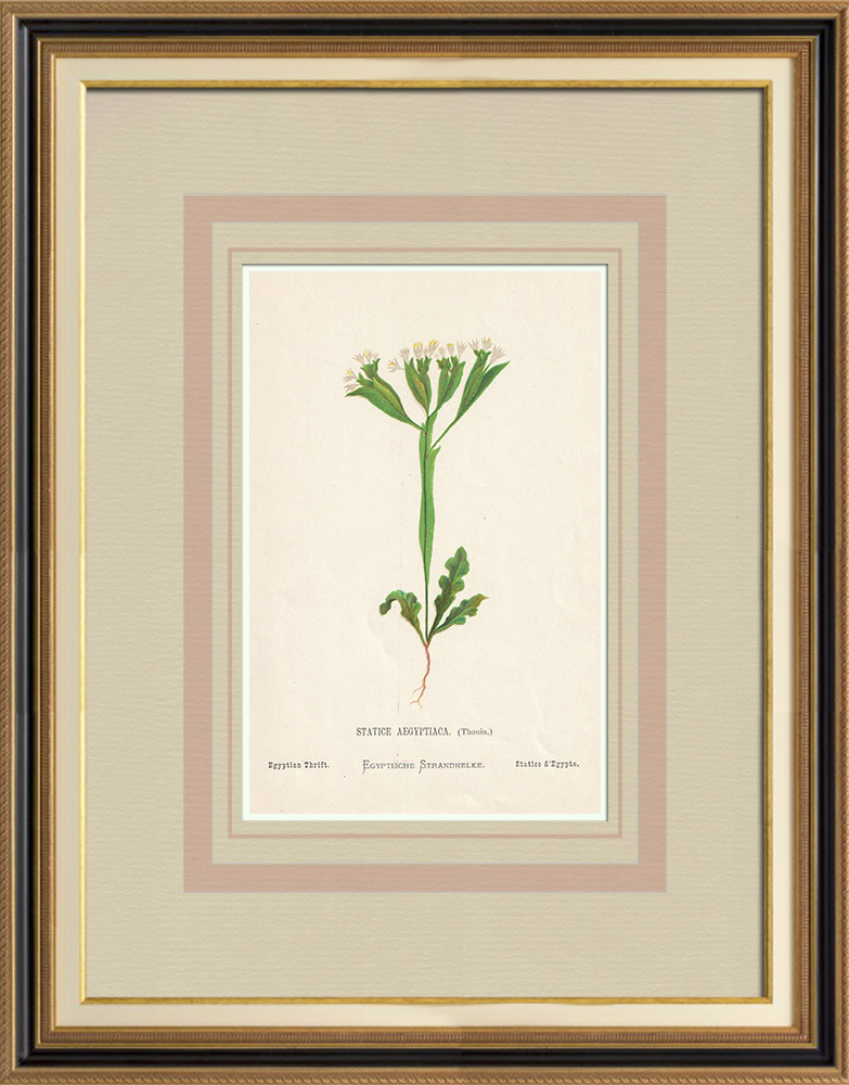 Antique Prints & Drawings | Flowers of Palestine - Egyptian Thrift | Chromolithography | 1876