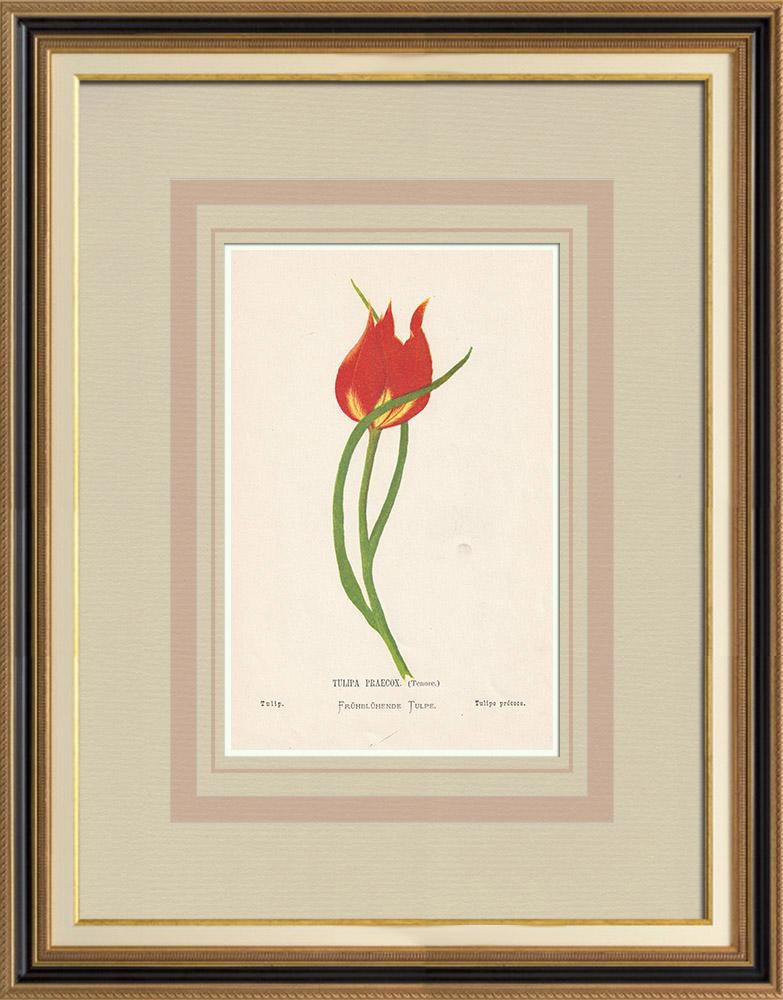 Stampe Antiche & Disegni | Fiori di Palestina - Tulipa Praecox | Cromolitografia | 1876