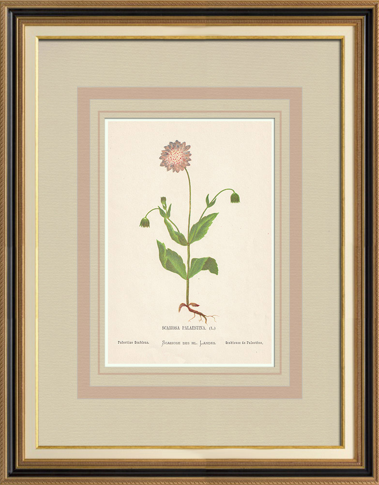 Antique Prints & Drawings | Flowers of Palestine - Palestine Scabious | Chromolithography | 1876