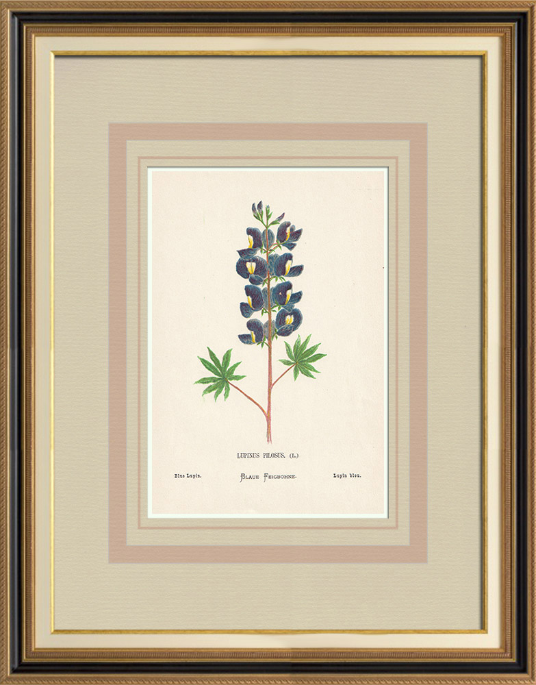 Antique Prints & Drawings | Flowers of Palestine - Blue Lupin | Chromolithography | 1876