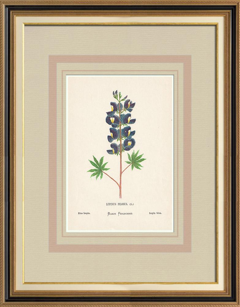 Stampe Antiche & Disegni | Fiori di Palestina - Lupinus Pilosus | Cromolitografia | 1876