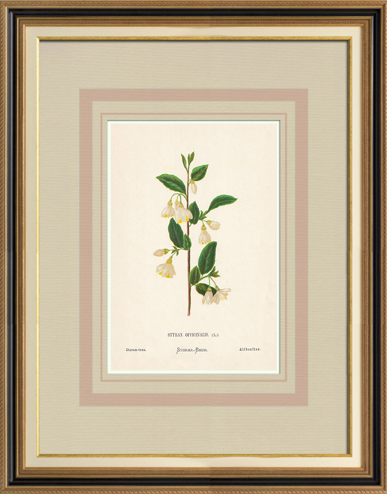 Antique Prints & Drawings | Flowers of Palestine - Storax-Tree | Chromolithography | 1876