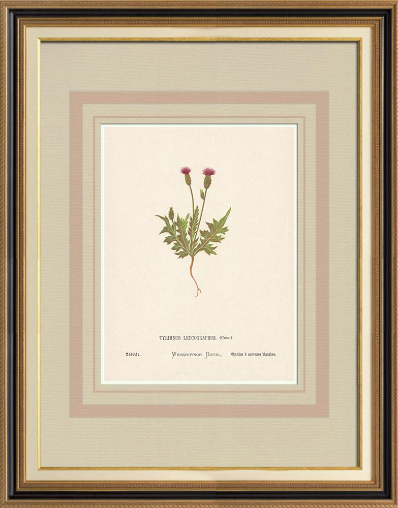 Gravures Anciennes & Dessins | Fleurs de Palestine - Chardon à Nervures Blanches | Chromolithographie | 1876