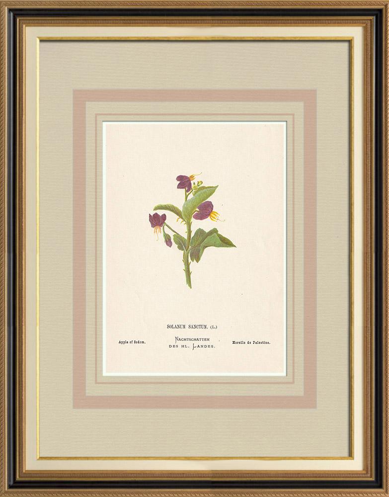 Stampe Antiche & Disegni | Fiori di Palestina - Solanum Sanctum | Cromolitografia | 1876