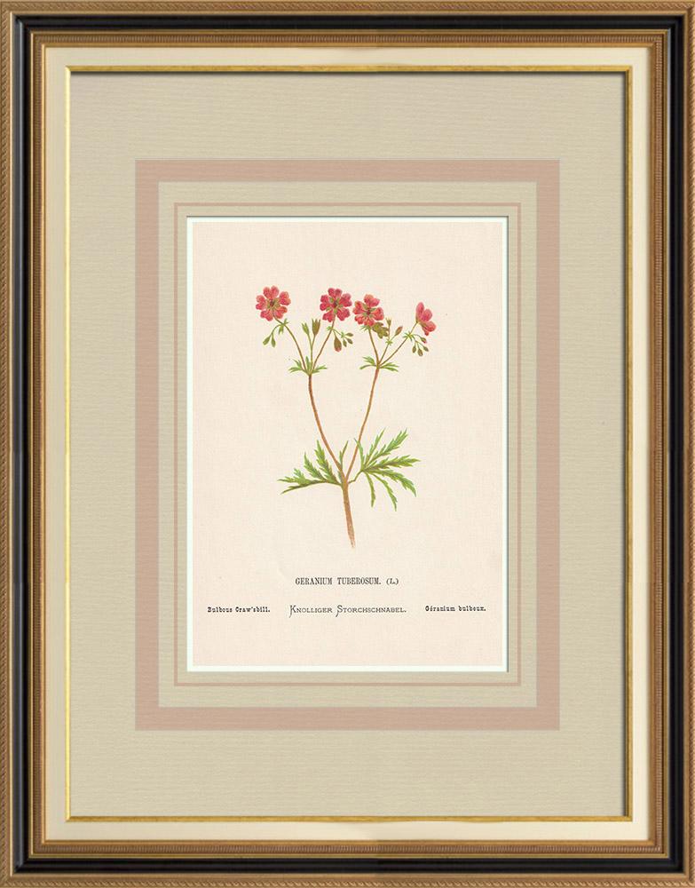 Grabados & Dibujos Antiguos | Flores de Palestina - Geranium Tuberosum | Cromolitografía | 1876