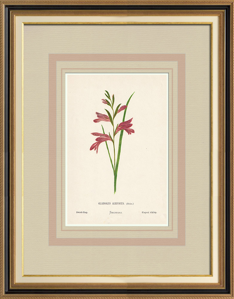 Antique Prints & Drawings | Flowers of Palestine - Sword-flag | Chromolithography | 1876