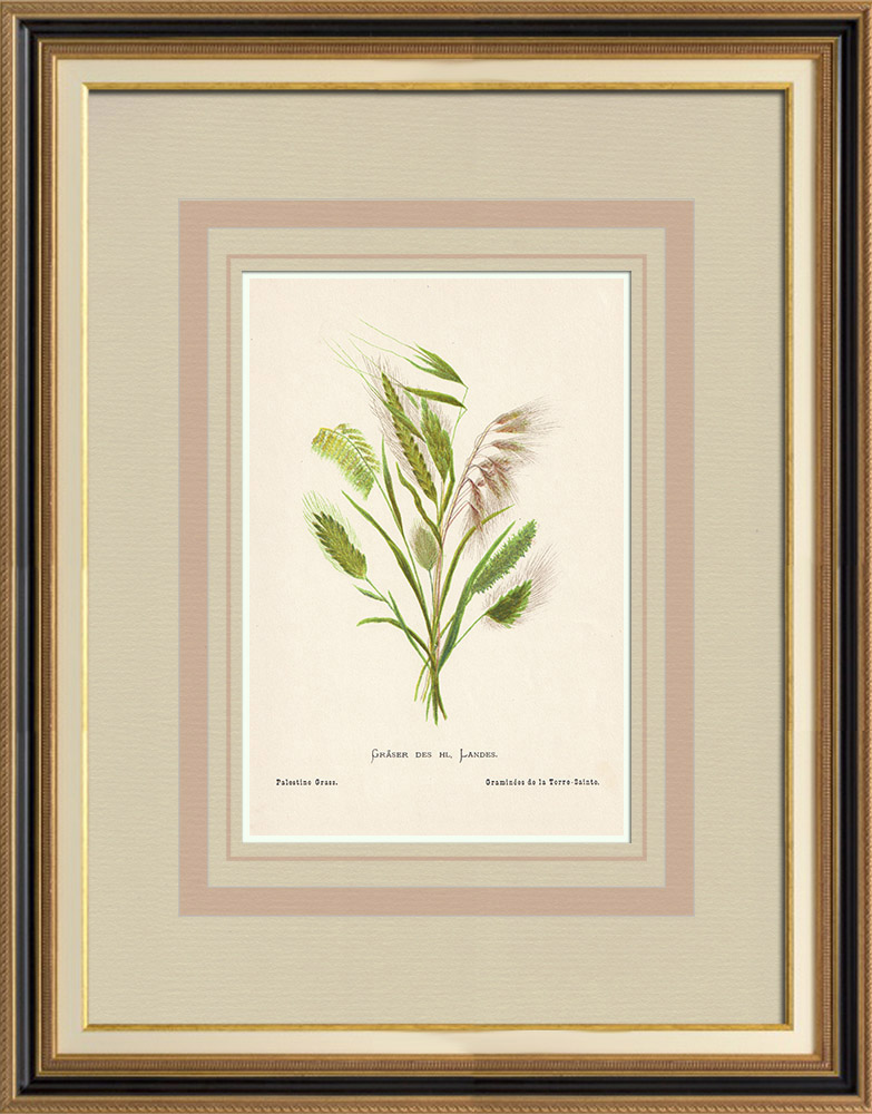 Antique Prints & Drawings | Flowers of Palestine - Palestine Grass | Chromolithography | 1876