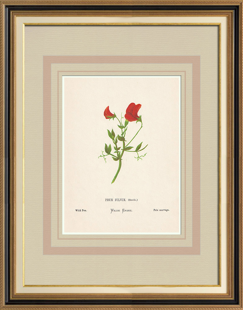 Antique Prints & Drawings | Flowers of Palestine - Wild Pea | Chromolithography | 1876