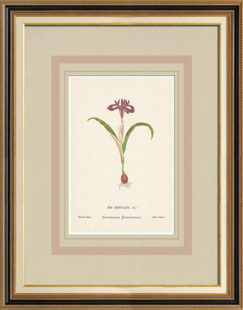 Gravures Anciennes & Dessins | Fleurs de Palestine - Iris Naine | Chromolithographie | 1876