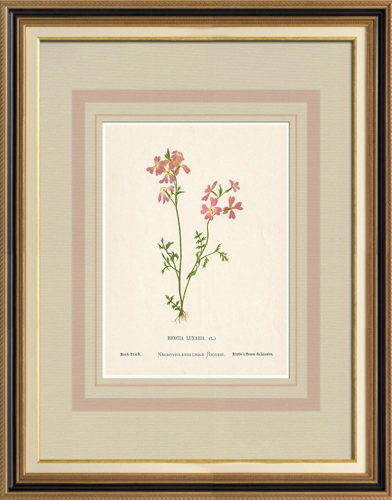 Stampe Antiche & Disegni | Fiori di Palestina - Ricotia Lunaria | Cromolitografia | 1876