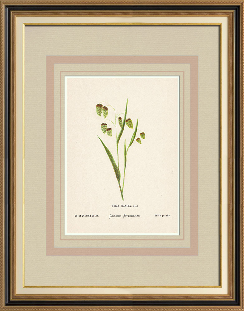 Antique Prints & Drawings | Flowers of Palestine - Great Quaking Grass | Chromolithography | 1876