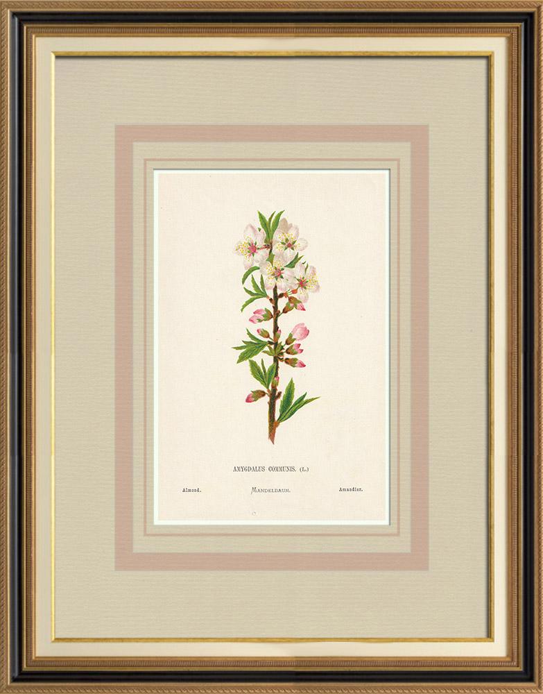 Gravures Anciennes & Dessins   Fleurs de Palestine - Amandier   Chromolithographie   1876