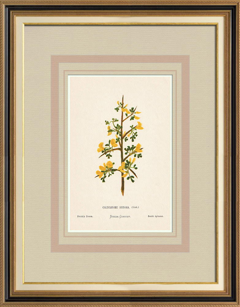 Antique Prints & Drawings | Flowers of Palestine - Prickly Broom | Chromolithography | 1876