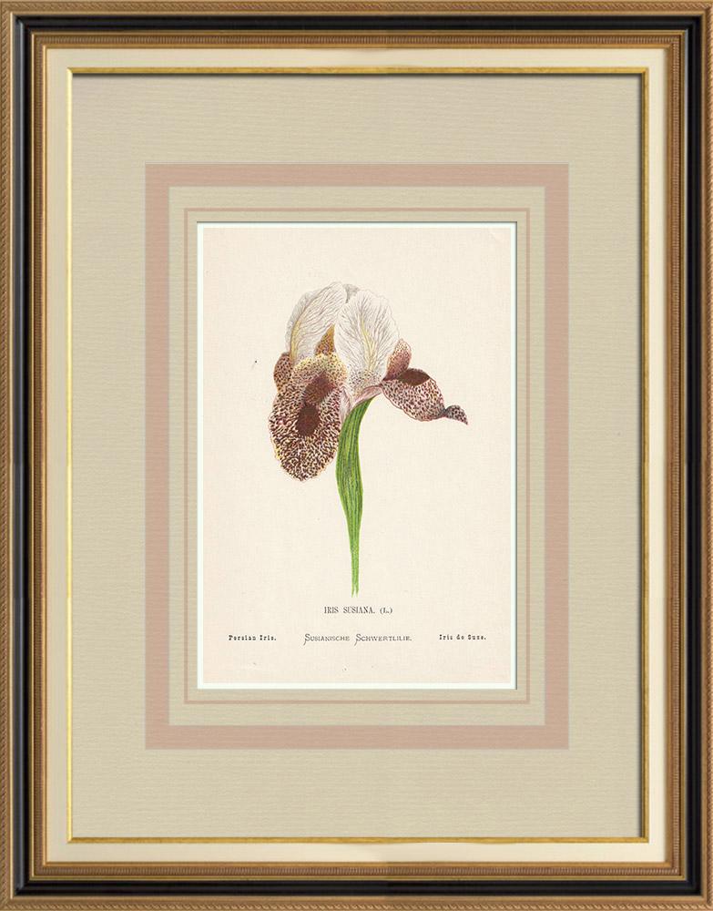 Stampe Antiche & Disegni | Fiori di Palestina - Iris Susiana | Cromolitografia | 1876