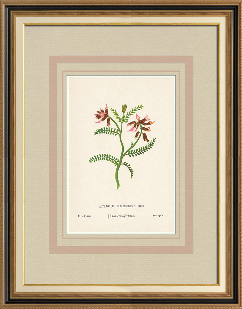 Antique Prints & Drawings | Flowers of Palestine - Milk Vetch | Chromolithography | 1876