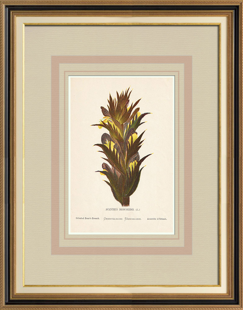 Grabados & Dibujos Antiguos | Flores de Palestina - Acanthus Dioscoridis | Cromolitografía | 1876