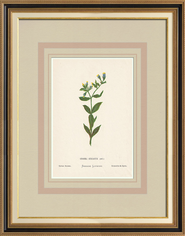 Antique Prints & Drawings | Flowers of Palestine - Syrian Onosma | Chromolithography | 1876