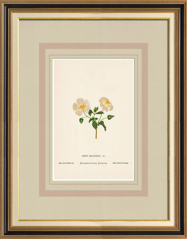 Antique Prints & Drawings   Flowers of Palestine - Sage Leaved Rock Rose   Chromolithography   1876