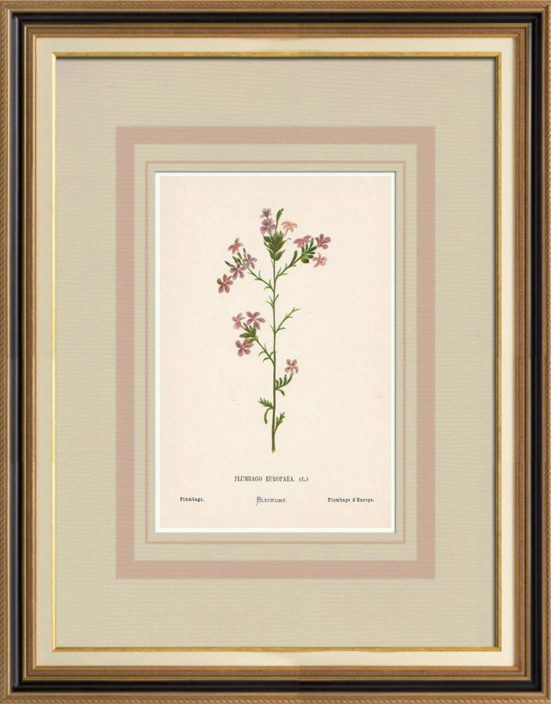 Stampe Antiche & Disegni | Fiori di Palestina - Plumbago Europaea | Cromolitografia | 1876