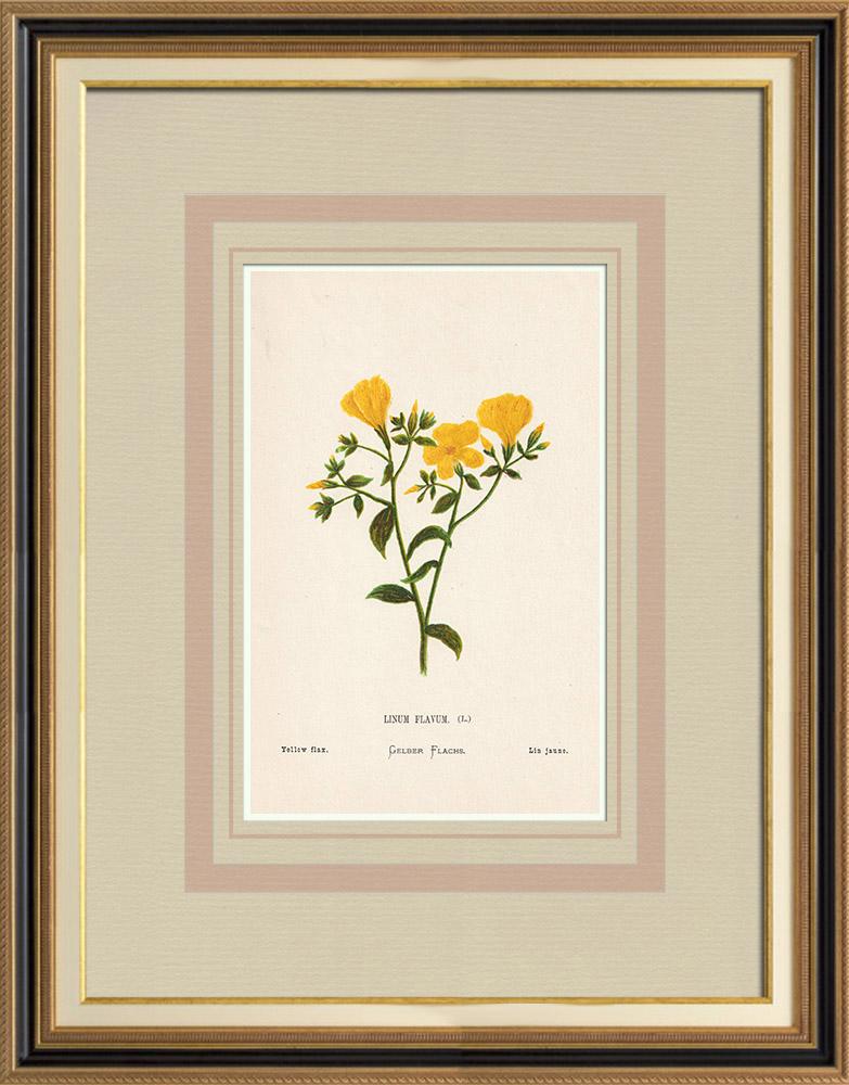 Grabados & Dibujos Antiguos | Flores de Palestina - Linum Flavum | Cromolitografía | 1876