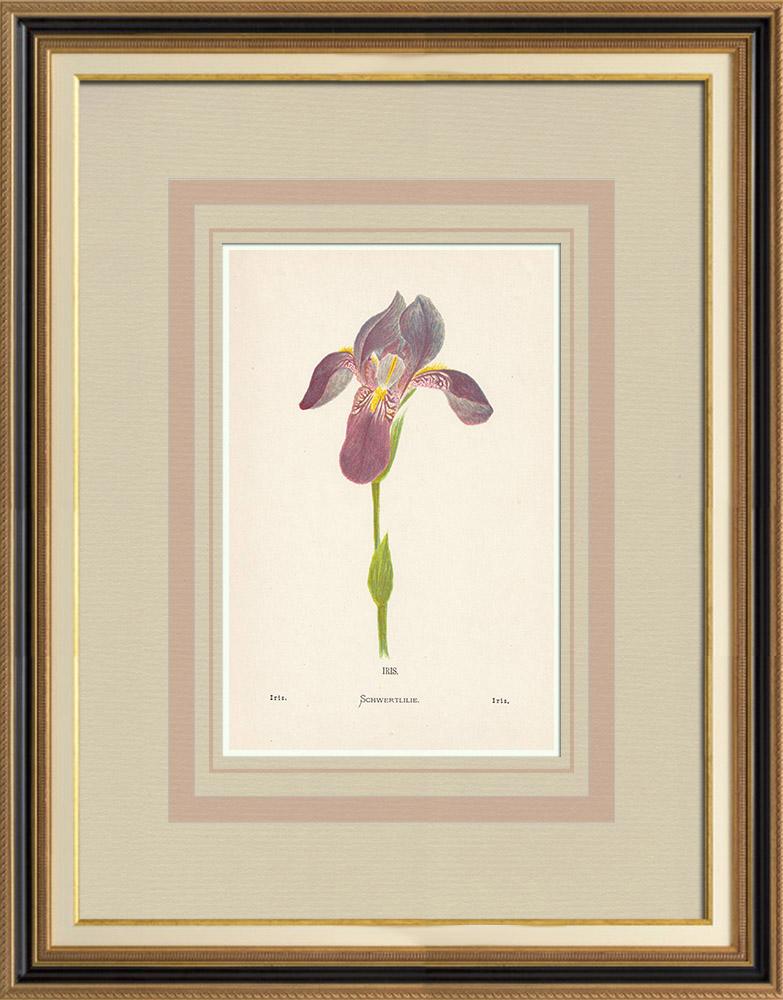 Gravures Anciennes & Dessins | Fleurs de Palestine - Iris | Chromolithographie | 1876