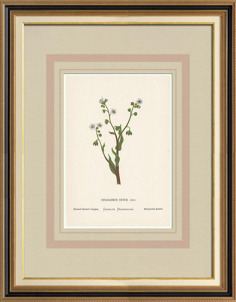 Grabados & Dibujos Antiguos | Flores de Palestina - Cynoglossum Pictum | Cromolitografía | 1876