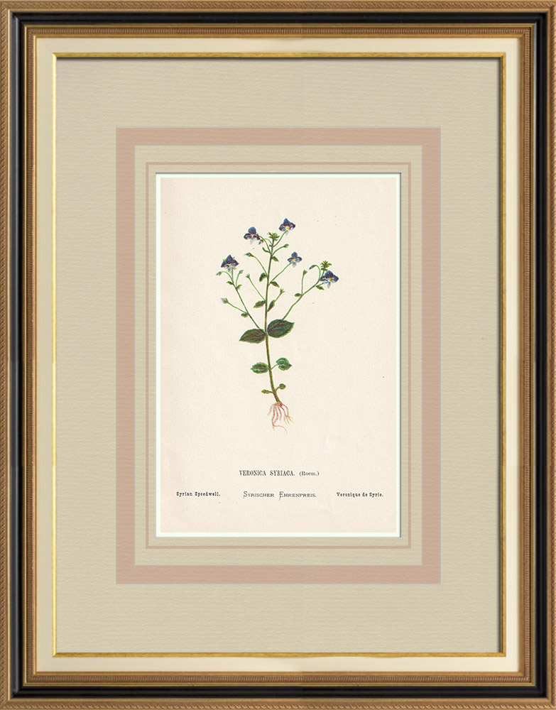 Antique Prints & Drawings | Flowers of Palestine - Syrian Speedwell | Chromolithography | 1876