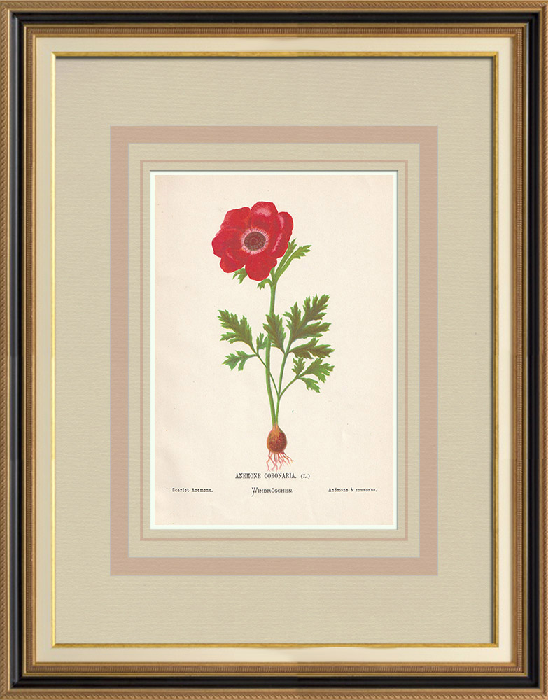 Antique Prints & Drawings | Flowers of Palestine - Scarlet Anemone | Chromolithography | 1876