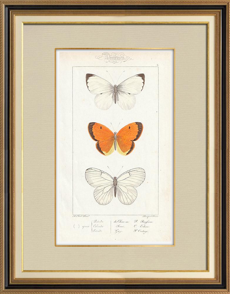 Stampe Antiche & Disegni | Farfalle dall'Europa - Piéride de Chou  - Coliade Souci - Piéride Gaze | Stampa calcografica | 1834