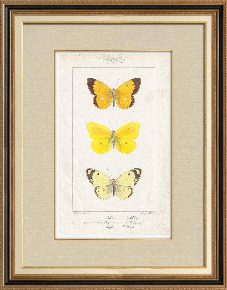 Stampe Antiche & Disegni   Farfalle dall'Europa - Coliade   Stampa calcografica   1834
