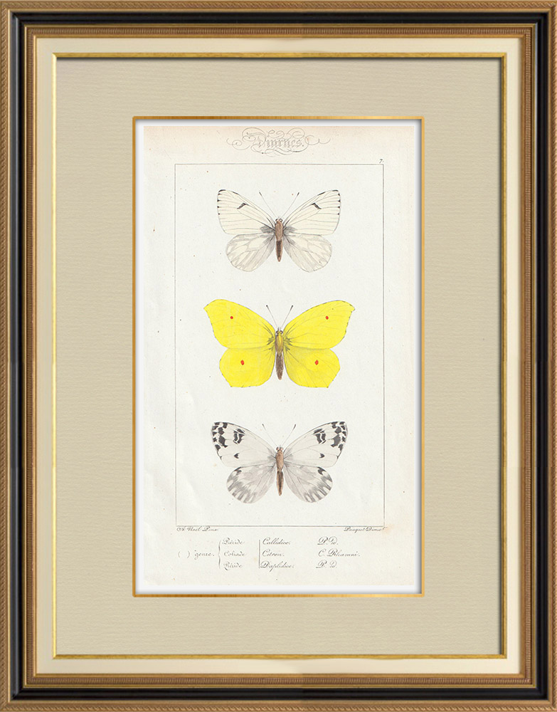 Grabados & Dibujos Antiguos | Mariposas Europeas - Piéride Callidice - Coliade Citron - Piéride Daplidice | Grabado en talla dulce | 1834