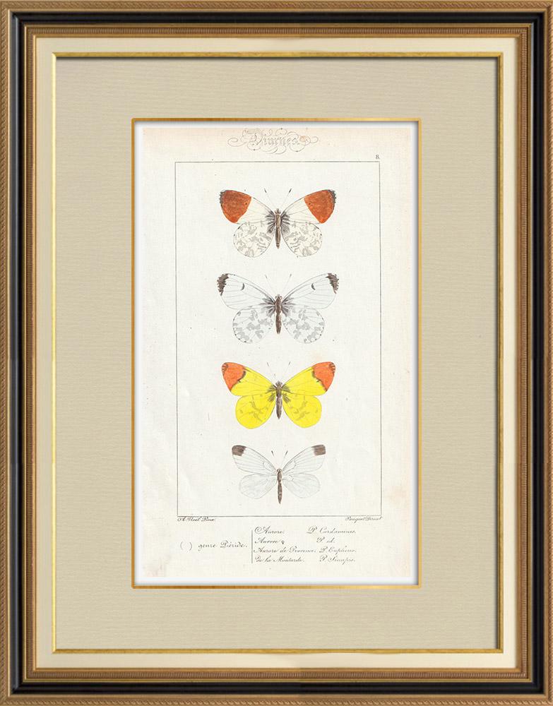 Stampe Antiche & Disegni | Farfalle dall'Europa - Piéride | Stampa calcografica | 1834