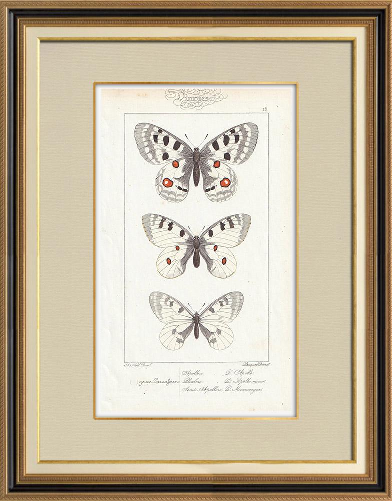 Antique Prints & Drawings | Butterflies of Europe - Apollon - Phoebus - Semi-Apollon | Intaglio print | 1834