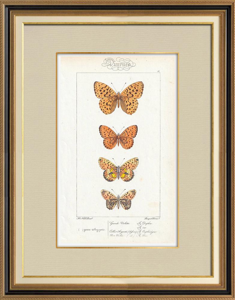 Antique Prints & Drawings | Butterflies of Europe - Grande Violette - Petite Violette | Intaglio print | 1834