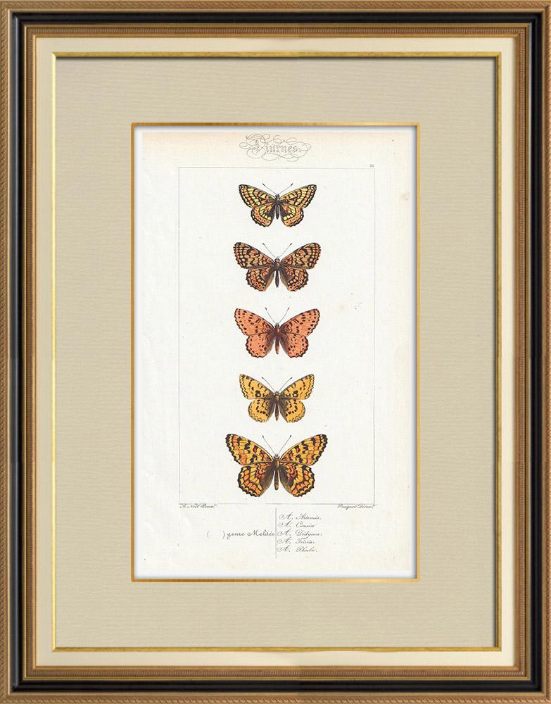 Antique Prints & Drawings | Butterflies of Europe - Melitée | Intaglio print | 1834