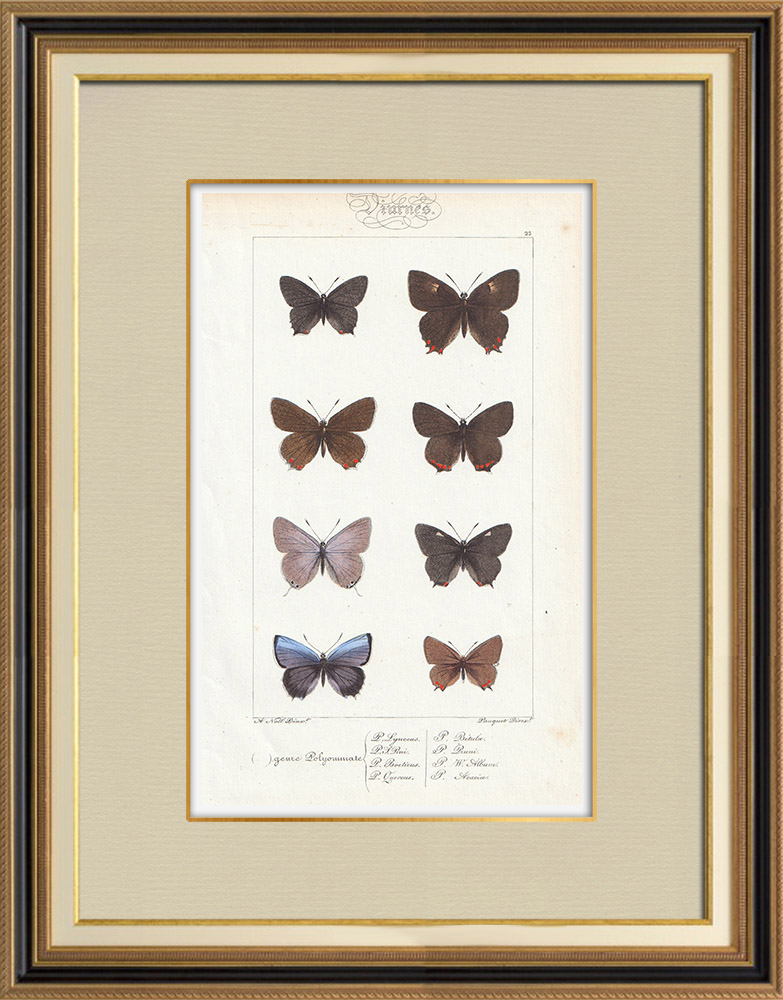 Antique Prints & Drawings | Butterflies of Europe - Polyommate | Intaglio print | 1834